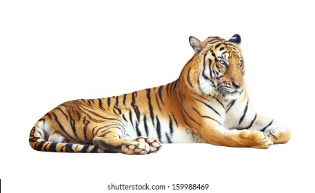 Tiger bengal action,Dangerous animal,Big hunter animal in the forest  and isolated on white background with clipping path.
