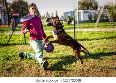Tiger bull terrier jumps high to grab a purple disc thrown by female trainer