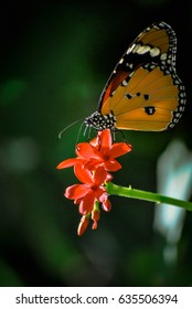 The tiger butterfly on the red flower .Thailand.