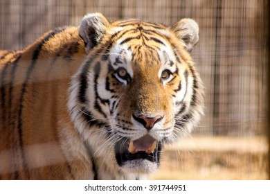 Tiger in a cage.