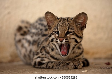 Tiger cat or ocelot cat from Brazil