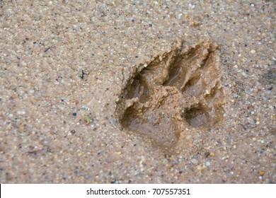 Tiger or Cat wildlife foot step on mud