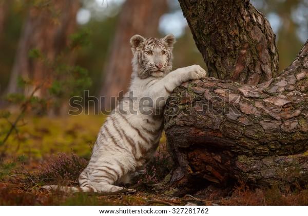 tiger-climbing-tree-600w-327281762.jpg