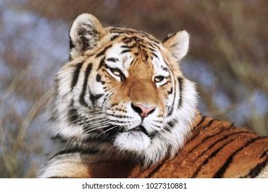 Tiger Close Up