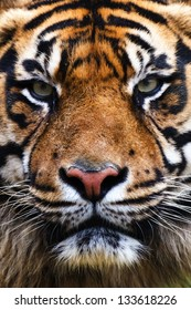 Tiger Close Up Portrait