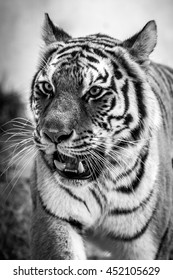 Tiger Closeup - Black and White