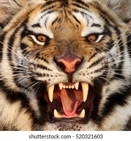 tiger teeth images stock photos amp vectors shutterstock