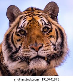 Tiger closeup photography, wildlife feline