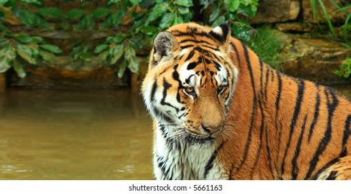tiger close-up shot in natural environment