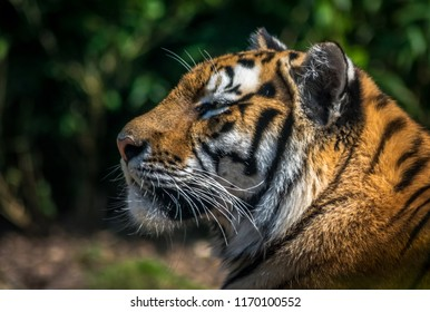 Tiger from Colchester Zoo