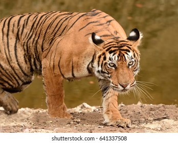 Tiger coming out of waterhole and stalking for hunt in ranthambhore national park