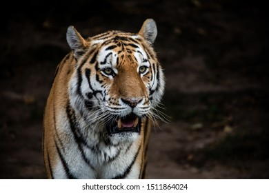 The tiger is a common big cat in asia