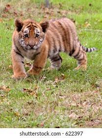 Tiger cub in action