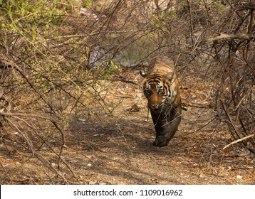 Tiger cub coming out from a waterhole, Ranthambore Tiger Reserve