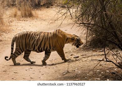 Tiger cub crossing the road at Ranthambore Tiger Reserve