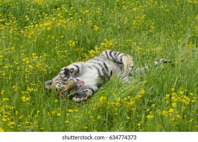 Tiger cub in deep grass and yellow flowers