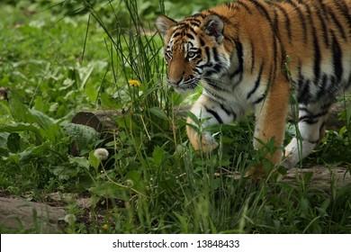 Tiger Cub exploring his surroundings.