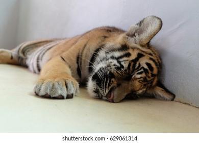 Tiger cub is lying sleep on the floor.