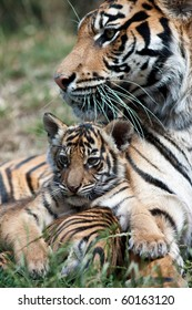 Tiger cub with mom