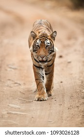A tiger  cub moving on the road of Ranthambore Tiger Reserve