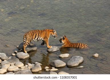 Tiger cub moving towards his mother in Ramganga River, Jim Corbett
