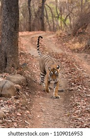 Tiger cub on the track of Ranthambore Tiger Reserve