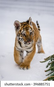 Tiger cub playing in the fresh snow during a cold winter day at the big cat sanctuary.