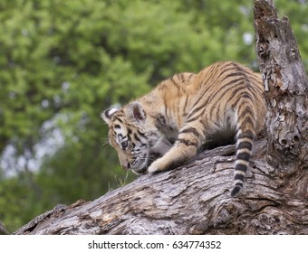 Tiger cub playing on rocks with trees in background