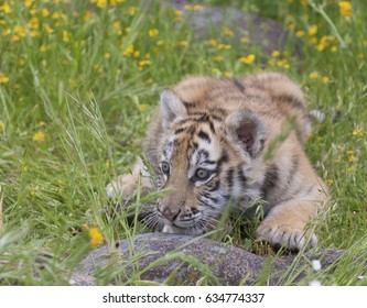 Tiger cub playing in yellow flowers ready to jump or attack