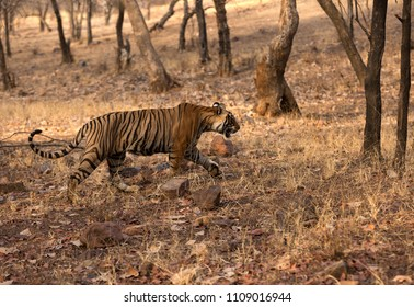 Tiger cub in Ranthambore Tiger Reserve