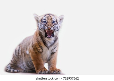 Tiger cub roar on white isolated background