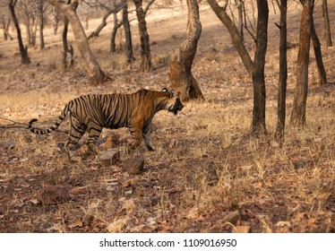 Tiger cub walking in the jungle of Ranthambore Tiger Reserve