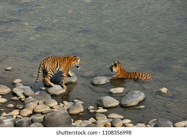 Tiger cub walking towards his mother, Jim Corbett National Park