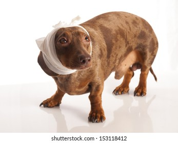 tiger dachshund with bandage on his head on a white background