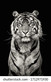 Tiger is the dangerous and wild animals