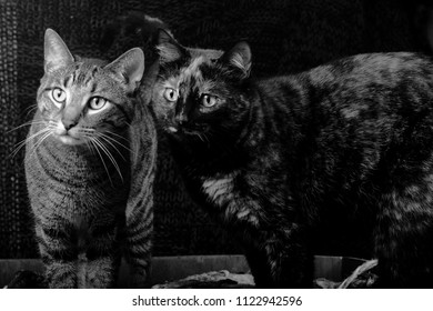 tiger domestic short hair tortoiseshell cat