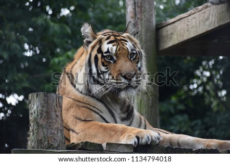 tiger exotic feline rescue center stock photo edit now 1134794018
