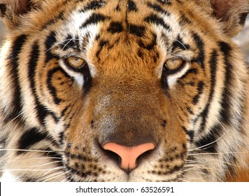 tiger with eyes looking at camera, kanchanburi, thailand, asia. exotic big cat in tropical country. same as indo china, sumatran or amur tiger.full frame close up of magnificent male bengal tiger