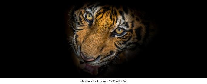 Tiger face fierce