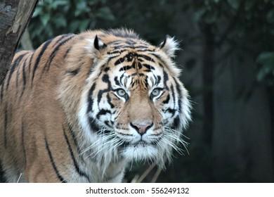 Tiger face head - Sumatran Tiger rare and endangered (Panthera tigris sumatrae) a rare tiger subspecies that inhabits the Indonesian island of Sumatra Asia has been listed as Critically Endangered