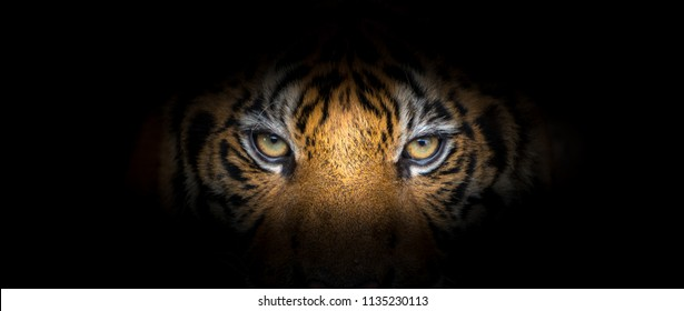 Tiger face on black background
