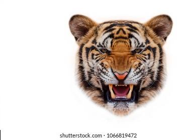 Tiger face on whitebackground.
