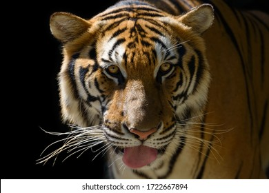 Tiger face, portrait on black background. Beautiful tiger on black background with protruding tongue high quality closeup tiger head.