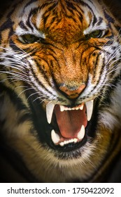 Tiger face showing teeth detail on black background. (Panthera tigris corbetti) in the natural habitat.