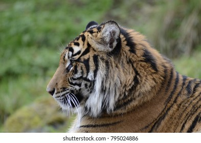 a tiger face it is very cute. it is look calm and relaxing.