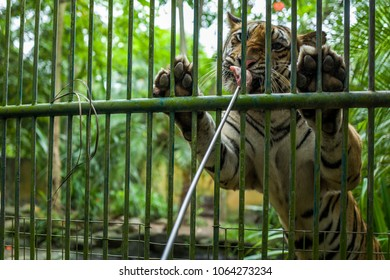 Tiger Feeding at Bali Zoo