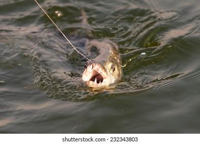 Tiger fish being caught at Lake Kariba in Zimbabwe, Africa