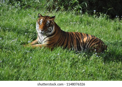 Tiger from Florida