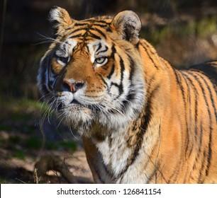 Tiger Focusing on prey.