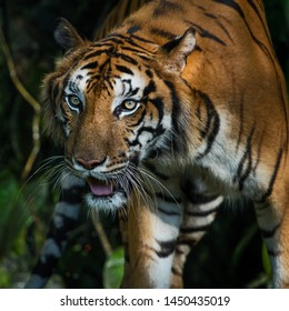 The tiger is focusing on something serious. (Panthera tigris corbetti) in the natural habitat, wild dangerous animal in the natural habitat, in Thailand.